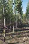 Poplars trials using different poplars from around the world.