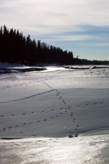 February 21, 2004 - Coyote tracks criss cross the snow and ice along the banks of the Red Deer River