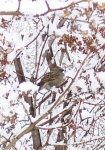 March 31, 2004 - A sparrow sits in the snow covered branches of the lilac bush