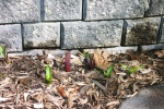 April 19, 2004 - Tulips and scilla push their way up through a bed of cedar chips beside the cement wall surrounding the pond.
