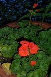 June 23, 2004 - Orange Appeal geraniums.  This unusual variety is a bright orange.  I looked all over for these for two year.  Finally tracked them down in the early spring at Arch Greenhouses.