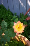July 20, 2004 - Joseph's Coat, a small blossom on a climbing rose.