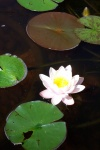 July 20, 2004 - A pink water lily blooming on the pond.
