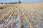 ww_DCP_0874 - Snow covers the winter wheat which has sprouted and lies dormant til spring.  The snow melt is often the only moisture many fields get.