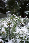 September 9 - The wet snow was so heavy, it snapped most of the sunflowers.  Usually they stand tall through the winter, a little seed forest for the chickadees.