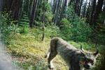 Lynx on seismic line