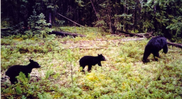 Black bear sow and two cubs travelling down seismic line