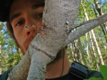 Another of the forest tent caterpillar's many predators, this one making off with an unfortunate caterpillar!