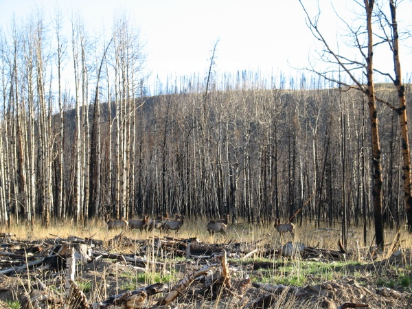 These are some of my radiocollared elk in the Dogrib Burn - its not a great picture, but hey, they are wild.