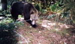 Bear trying to slip under the wire at a bait mound. Photo credit: Stephan Himmer