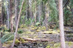 May 5, 2005 - Wagner Natural Area is a fen where black and white spruce grow in the moist areas, moss covering the downed woody debris, and marsh marigolds bloom in tiny shaded pools beside the trail.