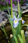 June 2005 - Flag iris blooming in the pond