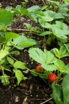 June 2005 - The first fruit of summer.  Finally, a strawberry patch that works!