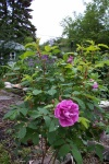 June 2005 - The Therese Bugnet rose in bloom.