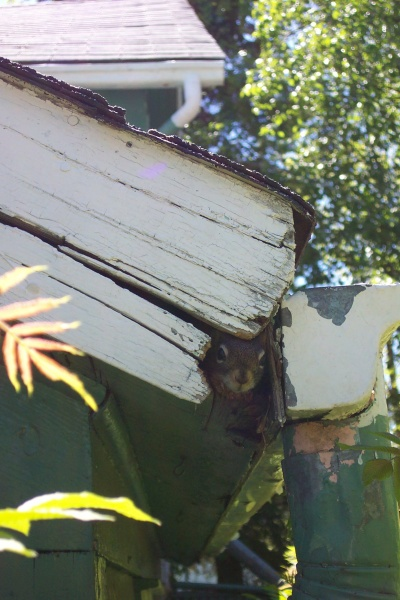 May 2005 - Baby squirrel poking it's head out of the nest under my eaves, waiting for mom to return.  Today the squirrels are being moved across the yard to a new nest.