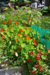 July 29, 2005 - Nasturtiums spill out of the raised vegetable bed.