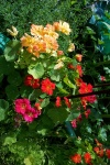 July 29, 2005 - A mix of nasturtiums.