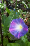 July 29, 2005 - A morning glory unfurls its bud for the day.