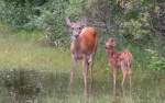 Doe_and_Fawn_1