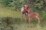 Doe_and_Fawn_3