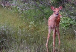 Doe_and_Fawn_4
