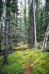 August 20, 2005 - The spruce forest behind our camp was filled with game trails.  We decided to follow them around the lake.