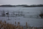 November 6, 2005 - Swirls of ice form on the lake.  Muskrats rest on top of the ice.