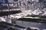 Growing beds for  borage and echinaechia